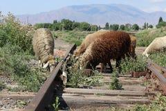 Ovejas en vías viejas del tren Foto de archivo libre de regalías