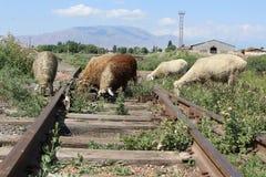 Ovejas en vías viejas del tren Foto de archivo
