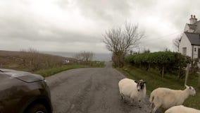 Ovejas escocesas al lado del camino de la sola pista en la isla de Skye - Escocia almacen de metraje de vídeo