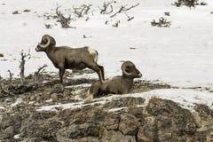 Ovejas grandes del claxon de la montaña rocosa Fotos de archivo