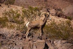Ovejas grandes del claxon del desierto de la RAM Fotografía de archivo libre de regalías