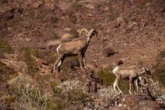 Ovejas grandes del claxon del desierto de la RAM Fotos de archivo libres de regalías