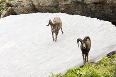 Ovejas grandes del claxon en nieve Fotografía de archivo libre de regalías