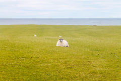Ovejas, hierba y el mar Fotos de archivo