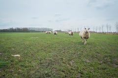 Ovejas holandesas Imagenes de archivo