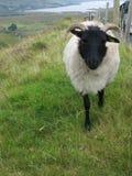 Ovejas irlandesas Fotos de archivo