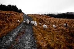 Ovejas irlandesas en las montañas de Bluestack en Donegal Irlanda Fotos de archivo