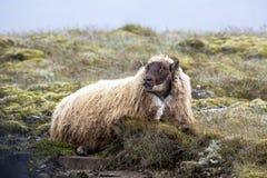 Ovejas islandesas Foto de archivo libre de regalías
