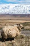 Ovejas islandesas - Islandia Imagenes de archivo