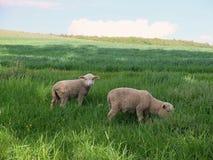 Ovejas jovenes en el prado Imagen de archivo