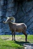 Ovejas majestuosas del Big Horn Fotos de archivo