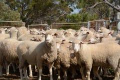 Ovejas merinas en una granja en Australia Foto de archivo libre de regalías