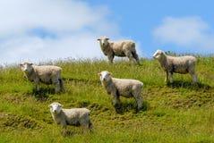 Ovejas merinas Nueva Zelanda Fotografía de archivo