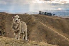 Ovejas merinas que se colocan en la colina herbosa Fotos de archivo