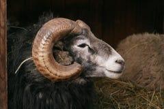 Ovejas, ovejas de Gotland - RAM Foto de archivo
