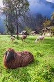 Ovejas pastadas en pasto en las montañas Fotos de archivo