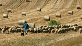 Ovejas, pastor y su perro Imágenes de archivo libres de regalías