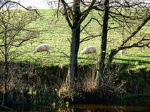 Ovejas por el canal de Leeds Liverpool en Salterforth en el campo hermoso en la frontera de Lancashire Yorkshire en Inglaterra se Imagen de archivo libre de regalías