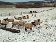 Ovejas preciosas en la nieve en Crookham, Northumberland Reino Unido imágenes de archivo libres de regalías
