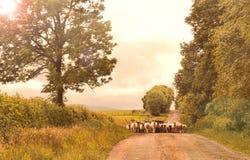 Ovejas que caminan abajo de un camino del countr en el tiempo de la tarde Imágenes de archivo libres de regalías