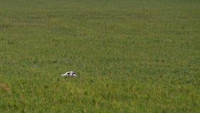 Ovejas que caminan en un campo verde imagenes de archivo