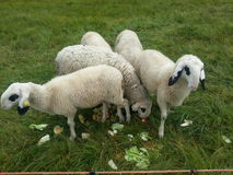 Ovejas que comen hierbas Imagenes de archivo