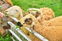 Ovejas que comen la hierba Imágenes de archivo libres de regalías