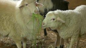 Ovejas que comen la hierba en establo en la crianza de la granja almacen de video