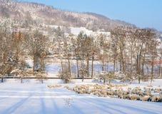 Ovejas que consiguen la hierba bajo la nieve Imagen de archivo libre de regalías