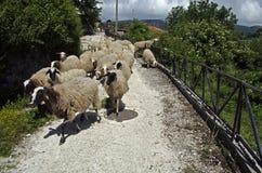 Ovejas que corren a lo largo de la calle del pueblo en Grecia Foto de archivo libre de regalías
