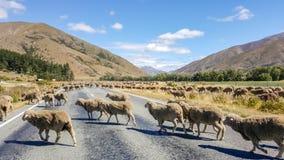 Ovejas que cruzan el camino en la carretera de Nueva Zelanda imágenes de archivo libres de regalías