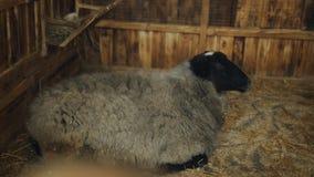 Ovejas que mienten en el heno en el prado Ovejas en el zoo-granja para una visita metrajes