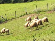 Ovejas que miran, caminando y descansando sobre un pasto verde Granja orgánica de Serbia metrajes