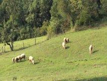 Ovejas que miran, caminando y descansando sobre un pasto verde Granja orgánica de Serbia almacen de metraje de vídeo