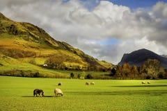 Ovejas que pastan, campo inglés, distrito del lago