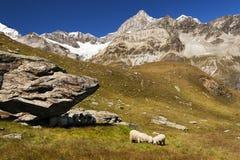Ovejas que pastan cerca del Cervino, Zermatt Suiza Imagen de archivo libre de regalías