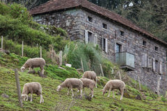 Ovejas que pastan con una casa de piedra en el fondo Foto de archivo