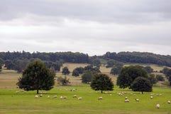 Ovejas que pastan en el campo inglés Imagen de archivo libre de regalías