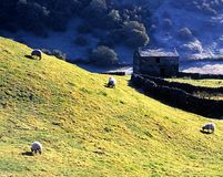 Ovejas que pastan en el campo, Swaledale Imagen de archivo libre de regalías