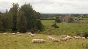Ovejas que pastan en el paisaje irlandés, abadía arruinada en el fondo metrajes