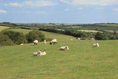 Ovejas que pastan en Exmoor Fotografía de archivo libre de regalías
