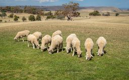 Ovejas que pastan en hierba en Nueva Zelanda Imagen de archivo libre de regalías