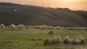 Ovejas que pastan en la colina cerca de ciudad en puesta del sol Foto de archivo