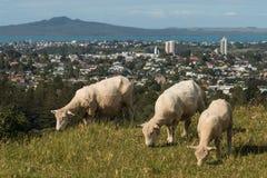 Ovejas que pastan en la colina sobre Auckland Foto de archivo libre de regalías