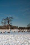 Ovejas que pastan en la nieve Imágenes de archivo libres de regalías