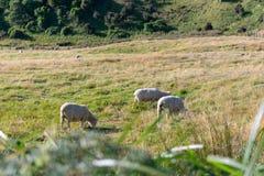 Ovejas que pastan en la tierra de cultivo de Dunedin imagen de archivo