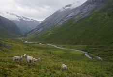 Ovejas que pastan en las montañas noruegas Fotografía de archivo