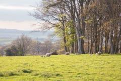 Ovejas que pastan en los campos Devon Reino Unido Imagenes de archivo