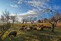 Ovejas que pastan en los campos, la colina y la granja Imágenes de archivo libres de regalías