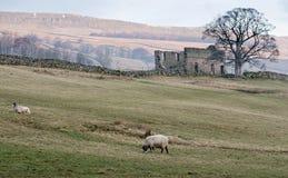 Ovejas que pastan en los valles de Yorkshire Imagen de archivo libre de regalías